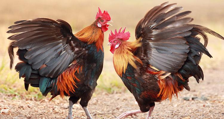 Judi-Sabung-Ayam